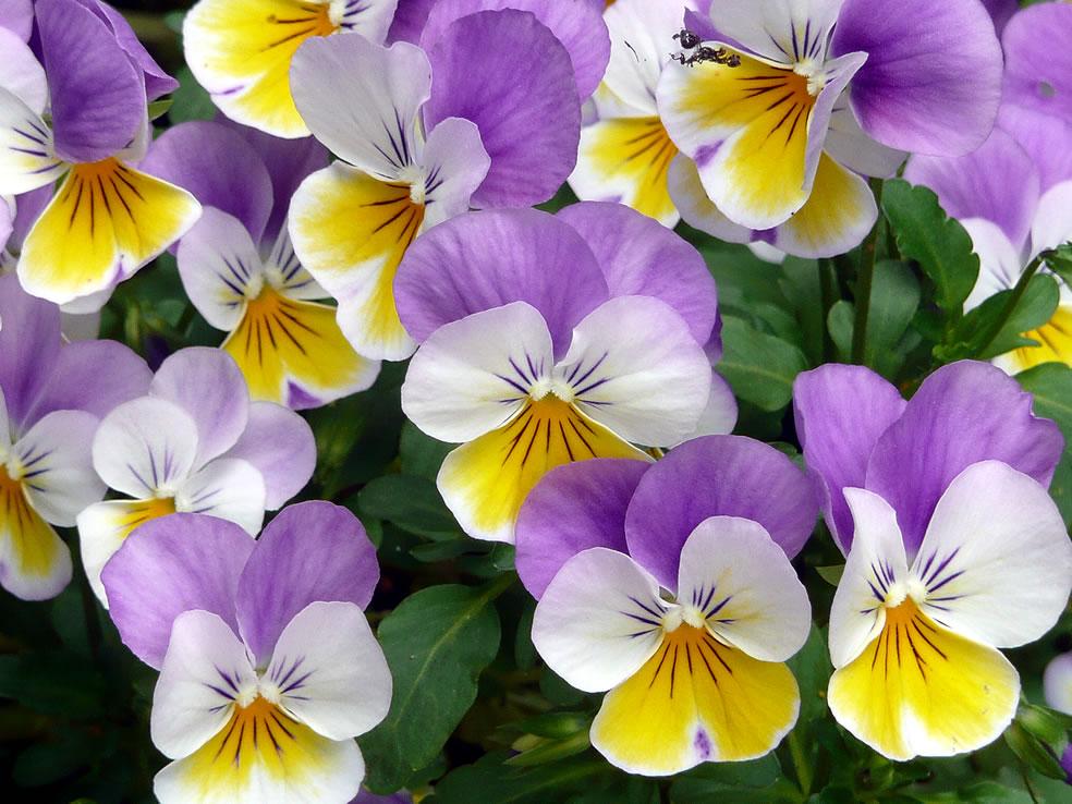 Viola tricolor (Driekleurig viooltje)