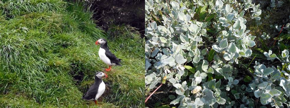Papegaaiduikers en Salix lanata