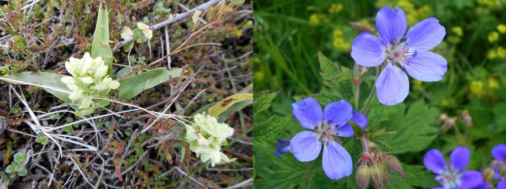 Platanthera hyperborea (Noordse nachtorchis) en Geranium sylvaticum