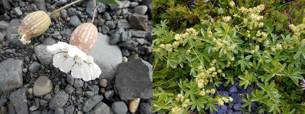 Silene uniflora en Alchemilla alpina