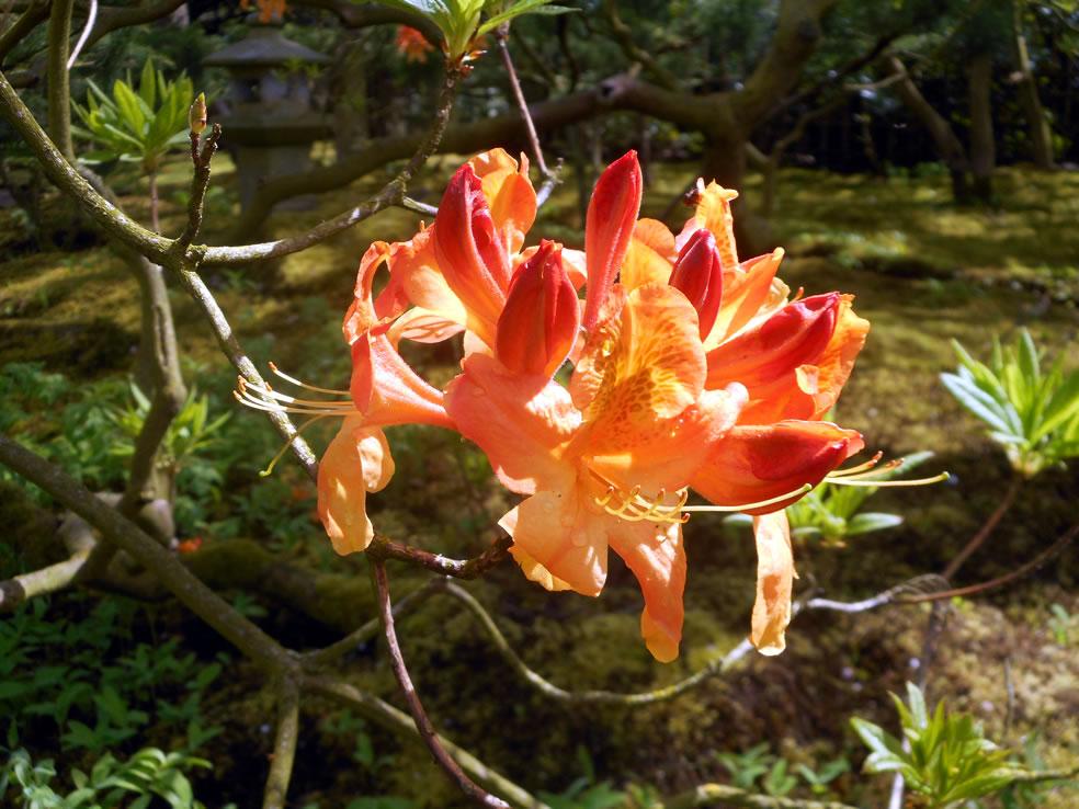 Azalea Japanse tuin Clingendael