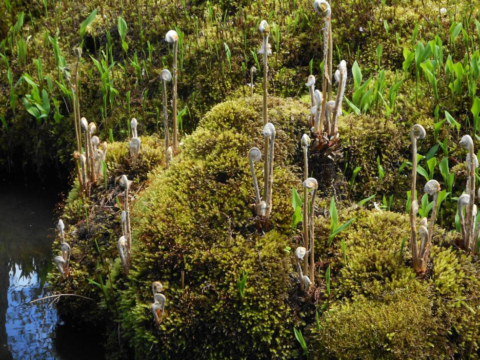 Mossen en varens Japanse tuin Clingendael