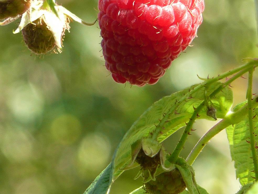 Rubus idaeus (framboos)