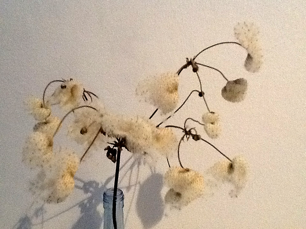 Anemone hybrida - herfstanemoon