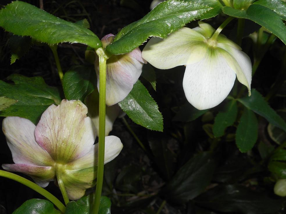 Oosterse kerstroos (Helleborus orientalis)