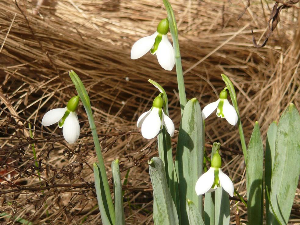 Galanthus elwesii (Turks sneeuwklokje)