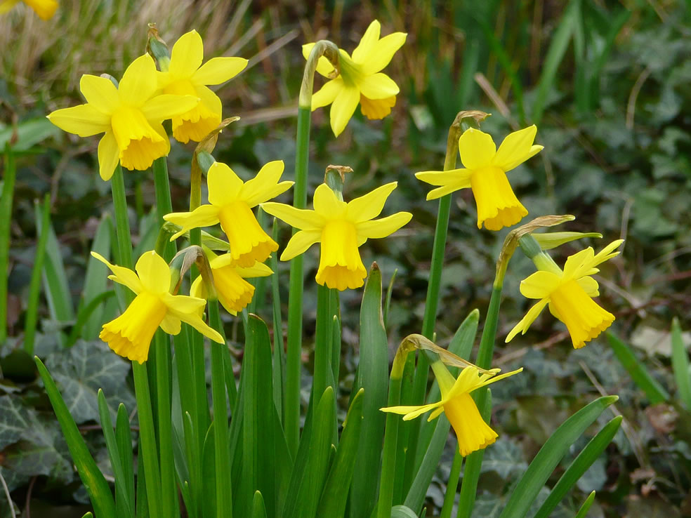 Narcissus 'Tête-a-tête' (Cyclaamnarcis)