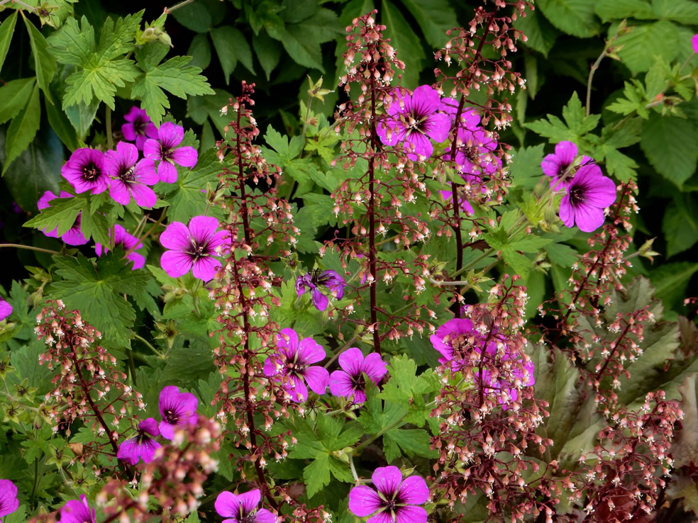 Geranium Anne Thompson' (Ooievaarsbek) en Heuchera micrantha 'Palace Purple'
