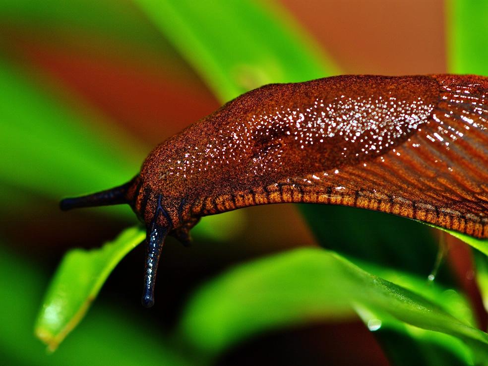 naaktslak slug